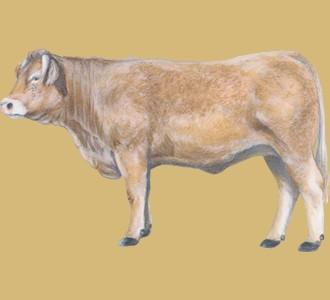 Ein Farmtier von der Art charolais ochse aufnehmen