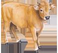 Limousin Rind - Seil 82
