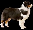 Australische Schäferhund - Seil 34