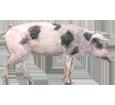 Schwein - Seil 68